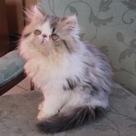 /upload/annonces/76799/thumbnail/01-1-picolo-10.jpgsuperbe chaton male persan loof