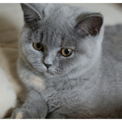 femelle british shorthair disponible de suite