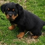chiots rottweilers lof