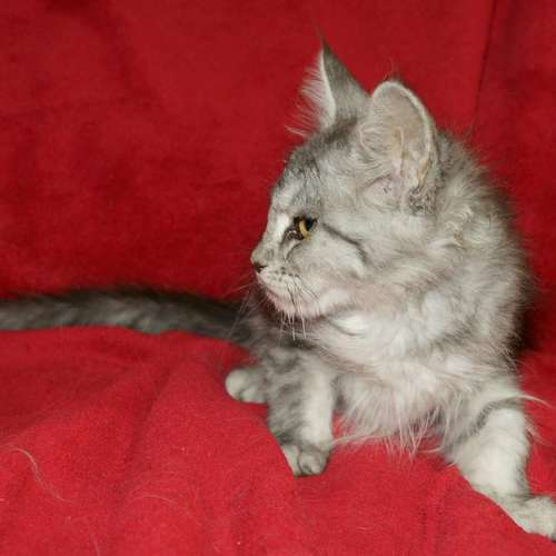 chaton maine coon black silver blotched tabby fem