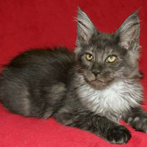 chaton maine coon black smoke femelle loof