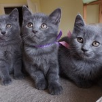 superbes chatons chartreux loof