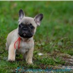 /upload/annonces/77009/thumbnail/04-1malerouge3.jpgchiots males bouledogue français lof