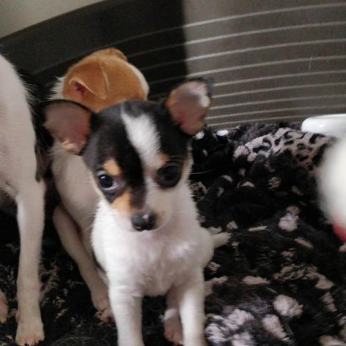 2 Chiots Chihuahua Et Une Adulte A Vendre Uncompagnon Fr