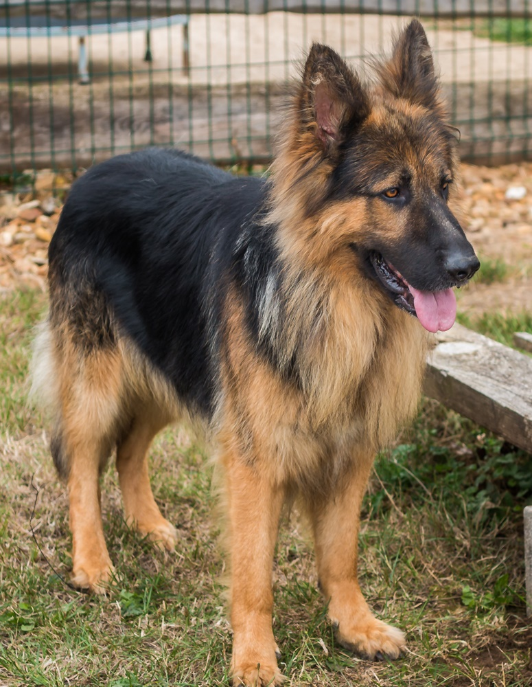 A Reserver Chiots Berger Allemand Poil Long Uncompagnon Fr