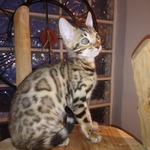 bengal disponible