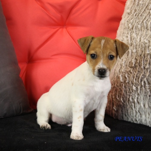 adorables chiots d'apparence jack russel