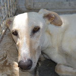 cali, un galgo en or - miniature 3