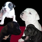 chiots staffie - miniature 1