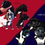 chiots staffie - miniature 2