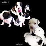 chiots staffie - miniature 3