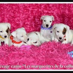 chiots jack russell terrier pure race disponibles