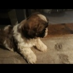 /upload/annonces/77794/thumbnail/02-screenshot_20191109-214136_gallery.jpgchiot shih tzu