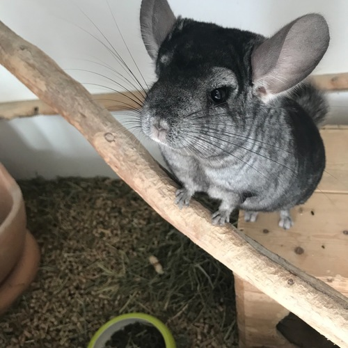 chinchilla 12mois