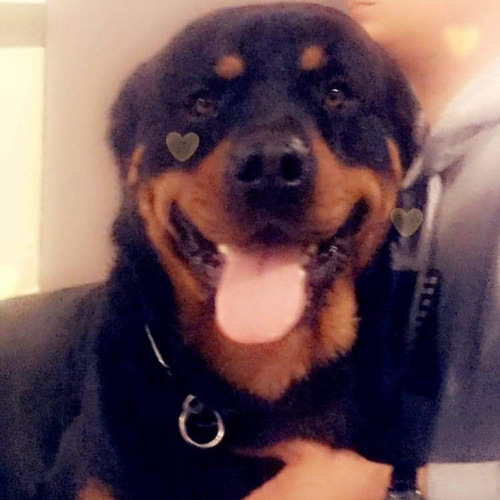 male rottweiler 1