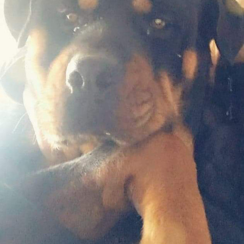 male rottweiler 3