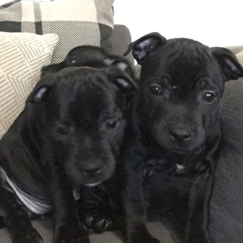 chiots staffies lof 2