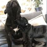 chiots staffies lof - miniature 1