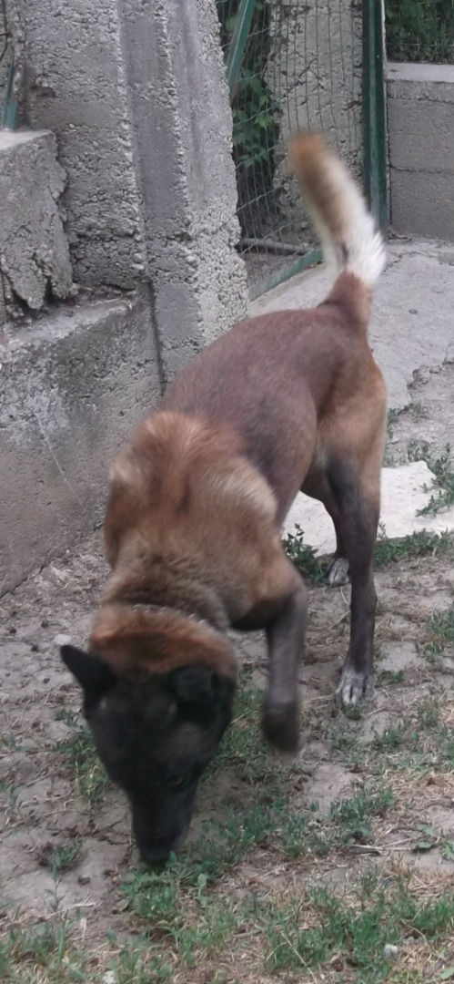 Berger Belge Malinois A Donner Uncompagnon Fr