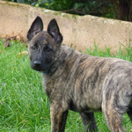 chiots berger hollandais lof