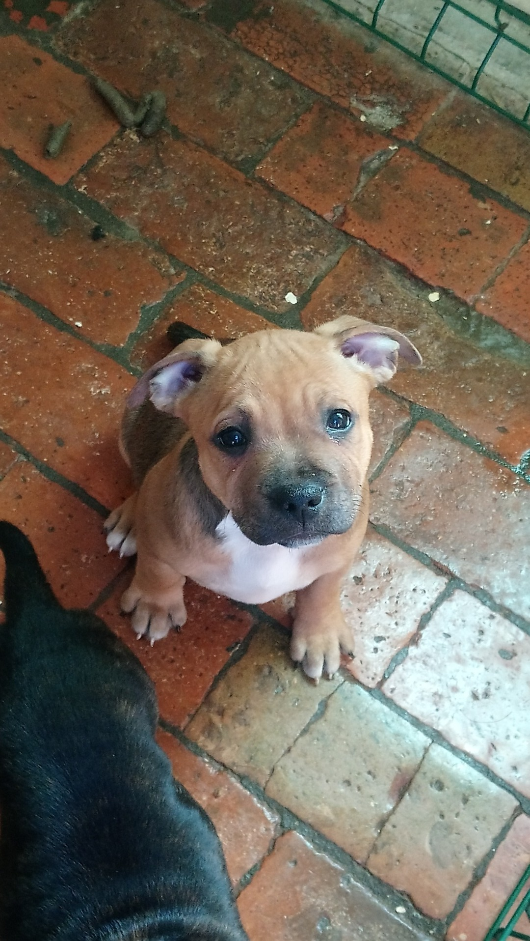Chiots Staffordshire Bull Terrier Uncompagnon Fr