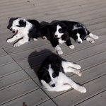 3 chiots borders collies