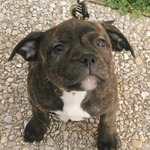 /upload/annonces/79187/thumbnail/04-img-20200112-wa0011.jpgstaffordshire bull terrier