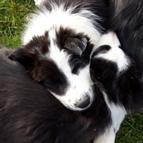 2 chiots border collie 1