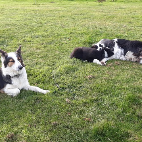 2 chiots border collie 2