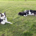 2 chiots border collie - miniature 2
