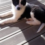 2 chiots border collie - miniature 3