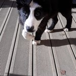 2 chiots border collie - miniature 4