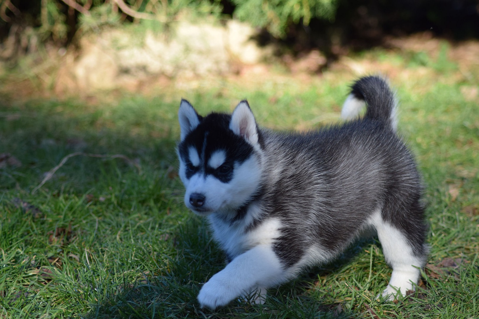 Chiot Husky Uncompagnon Fr