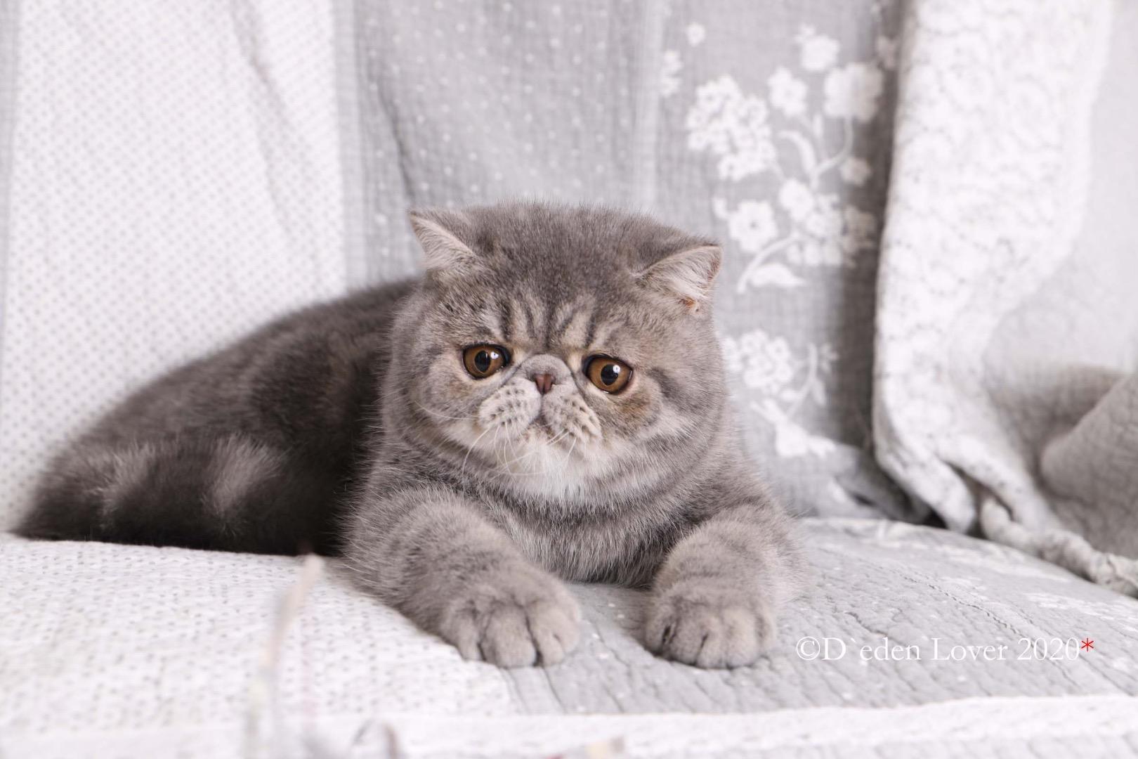 Chaton Exotic Shorthair Male Bleu Tabby Uncompagnon Fr