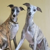 elevage familial de whippets