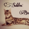 chatterie sublim'bengal