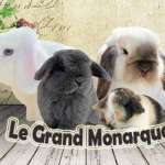 le grand monarque.- minilop - dream of rabbit
