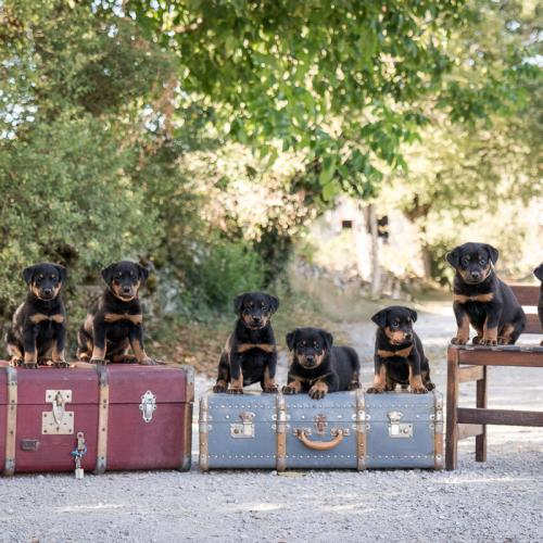 elevage de beaucerons pedigree lof