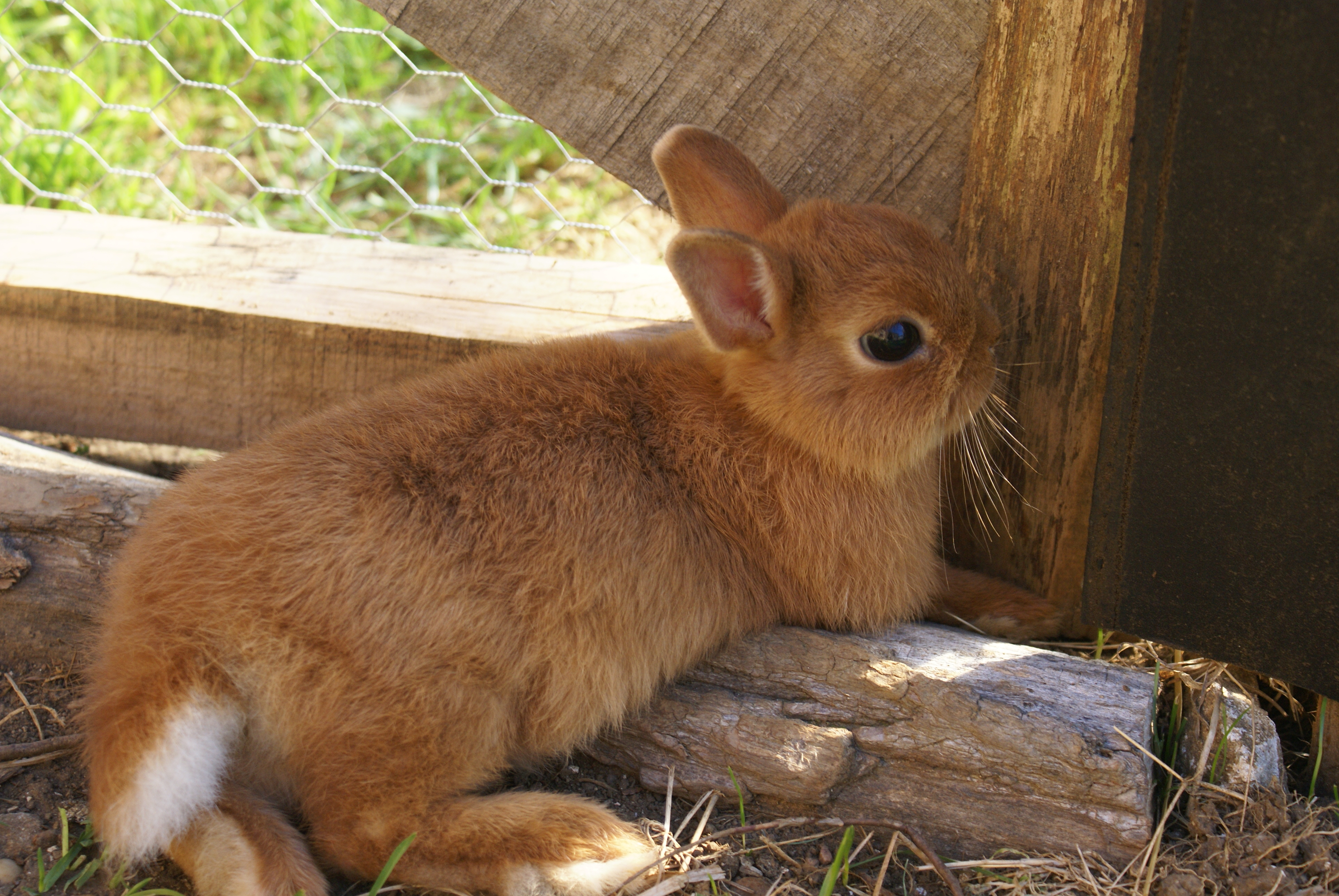 Particulier elevage lapin nain velleguindry - Photo de lapin a imprimer ...