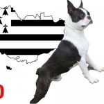 crocs.minilus elevage de boston terrier