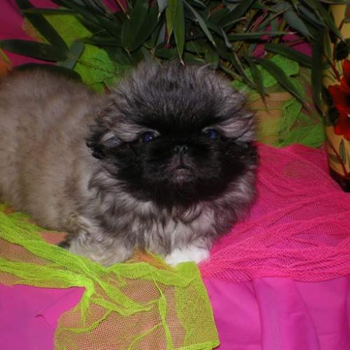 particulier elevage : epagneul pekinois