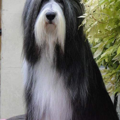 particulier elevage : bearded collie