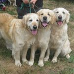particulier elevage : golden retriever